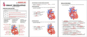 heart circulation powerpoint worksheet by tangstar science tpt. Black Bedroom Furniture Sets. Home Design Ideas