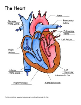 heart diagrams for labeling and coloring, with reference chart and summary  teachers pay teachers