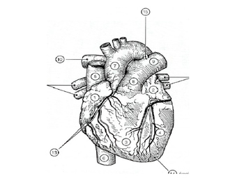 Heart External Anatomy Presentation