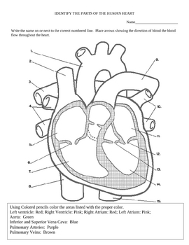heart diagram and color activity by sandra gibbs tpt. Black Bedroom Furniture Sets. Home Design Ideas