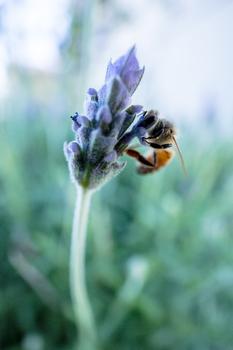 High Quality Photo of Honey Bee