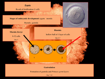 Histology - Embryonic Development of Tissue