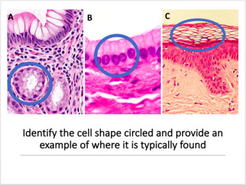 Histology, Tissues and Skin Task Cards