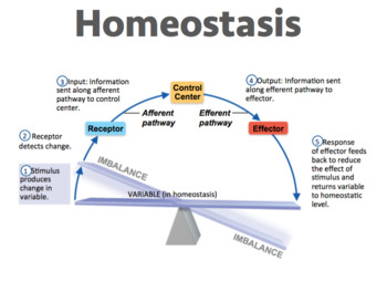 Homeostasis (Editable) by Miss Epic's Science Spot - TpT