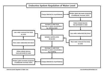 Homeostasis - Endocrine System Regulation of Water Level
