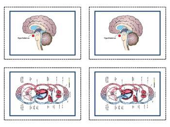 Homeostasis: Negative Feedback Loops