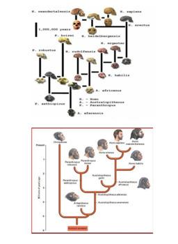 Hominid Evolutionary Tree Poster Activity
