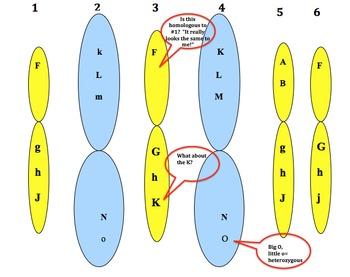 Homologous Chromosomes:  Can You Recognize Them?