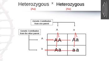 Homozygous, Heterozygous, & Punnett Squares Powerpoint