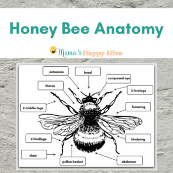 honey bee anatomy diagram by mama 39 s happy hive hands on homeschool. Black Bedroom Furniture Sets. Home Design Ideas