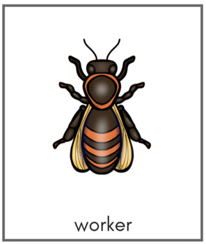 Honey Bee Life-Cycle 3-Part Cards