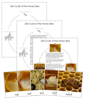 Honey Bee Life Cycle Cards and Charts