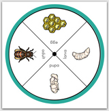 Honey Bee Life-Cycle with Spinners
