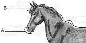 HORSE Diagram Worksheet w/ Dictionary Entries + 6 Multiple Choice Vocabulary Qs