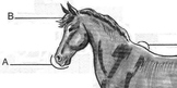 HORSE Diagram Worksheet w/ Dictionary Entries + 6 Multiple