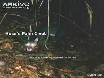Hose's Palm Civet - Endangered Borneo Animal - Power Point Facts Pictures