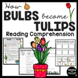 How Bulbs become Tulips Reading Comprehension and Sequencing Worksheet Spring