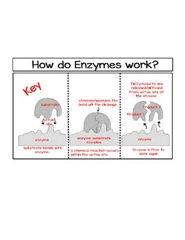 How Do Enzymes Work-Labeled Foldable and Key ONLY
