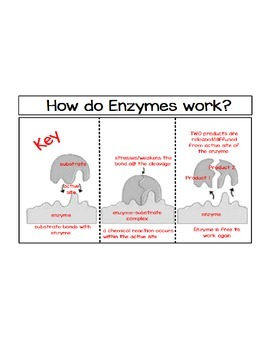 How Do Enzymes Work-Unlabeled Foldable and Key ONLY