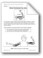 How Muscles Work/Cómo funcionan los músculos