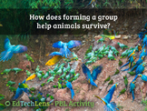 How does forming a group help animals survive?