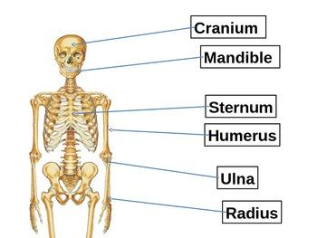 Human Anatomy - Bones