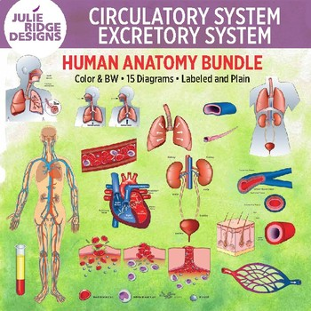 Human Anatomy Clip Art Illustrations Bundle