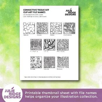 Human Anatomy Connective Tissue Diagrams