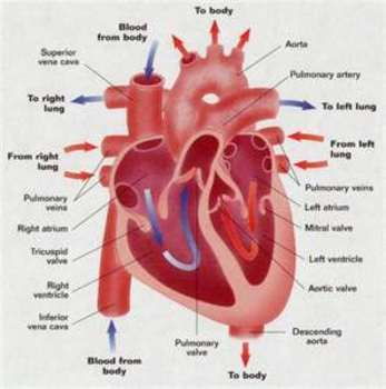 Human Anatomy Heart Power Point By Christina Dotson Tpt