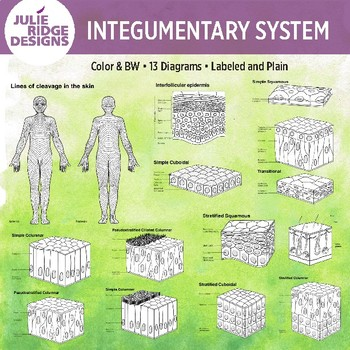 Human Anatomy Integumentary System Diagrams