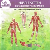 Human Anatomy Muscle System Diagrams