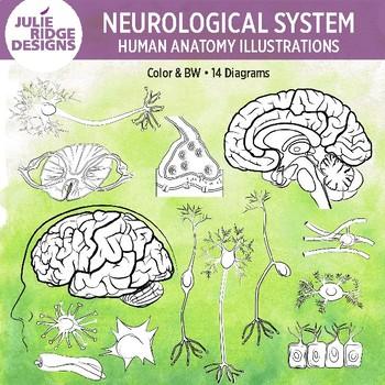 Human Anatomy Neurological System Illustrations