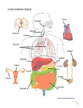 Human Anatomy: Organs