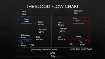 Human Anatomy & Physiology Circulatory System Presentation