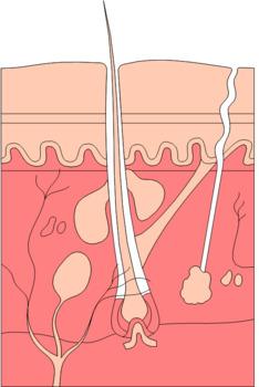 Human Anatomy & Physiology Unit 4 Bundle: The Integumentary System