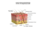 Human Anatomy & Physiology Unit Plan: The Integumentary System