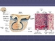 Human Anatomy and Physiology: The Endocrine System
