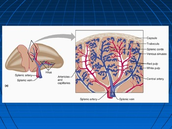 Human Anatomy and Physiology: The Immune System