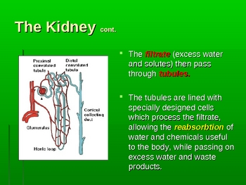 Human Anatomy and Physiology: The Urinary System