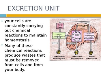 Human Biology: Urinary System (Excretion)