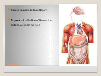 Human Body - Body Organization