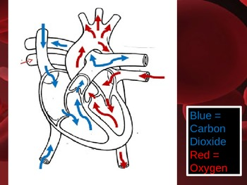 Human Body CIRCULATORY - Flow of Blood in the Heart
