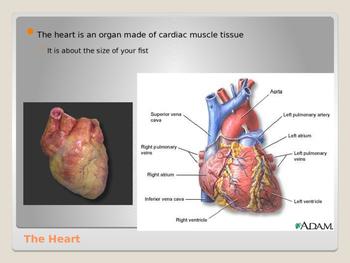 Human Body - Cardiovascular System
