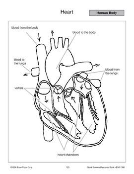 Human Body: Circulatory System and Heart