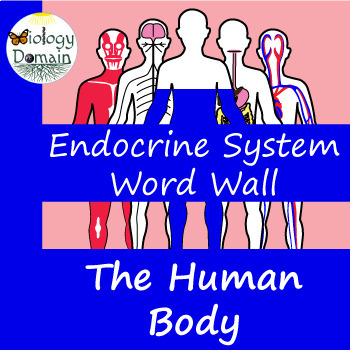 Human Body: Endocrine System Word Wall Vocabulary Cards