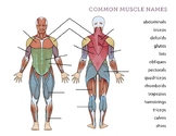 Human Body – Muscles