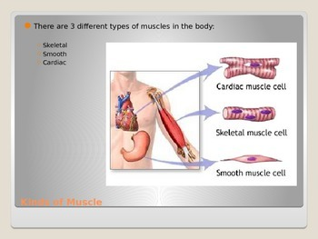 Anatomy - Human Body - Muscular Sysem