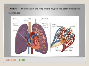 Anatomy - Human Body - Respiratory System