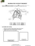 Human Body: Respiratory System Worksheet II