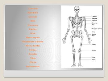 Human Body - Skeletal Sysem